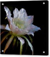 White Cactus Glory  Acrylic Print