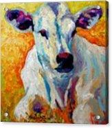 White Calf Acrylic Print
