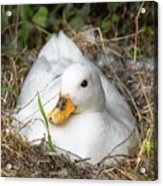 White Call Duck Sitting On Eggs In Her Nest Acrylic Print