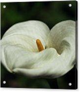 White Calla Lilly  Acrylic Print
