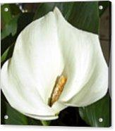 White Calla Lily Acrylic Print