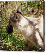 White Cat On The Hunt  Acrylic Print