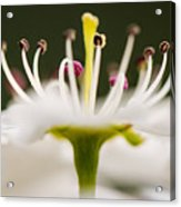 White Cherry Blossom Against Green Acrylic Print
