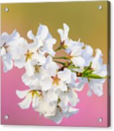 White Cherry Blossoms Against A Pink And Gold Background Acrylic Print