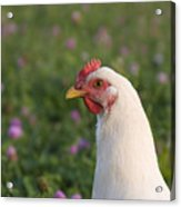 White Chicken Acrylic Print