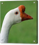 White Chinese Goose Acrylic Print