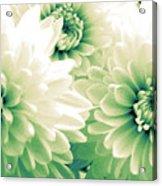 White Chrysanth Flowers Acrylic Print