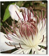 White Clematis Henryi Acrylic Print