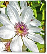White Clematis Yellow And Purple Throat Acrylic Print