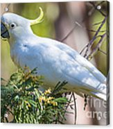 White Cockatoo Acrylic Print