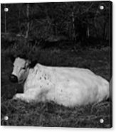White Cow Luxuriates Acrylic Print