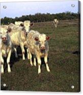 White Cows Acrylic Print