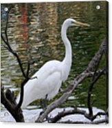 White Crane Acrylic Print