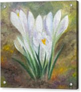 White Crocus Acrylic Print
