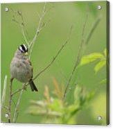 White Crown Sparrow Acrylic Print