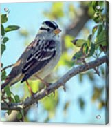 White-crowned Sparrow 0033-111017-1cr Acrylic Print