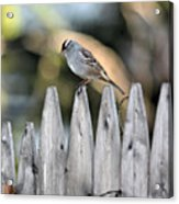 White-crowned Sparrow 3 Acrylic Print