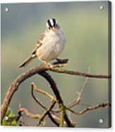 White Crowned Sparrow Acrylic Print by Laura Mountainspring