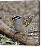 White Crowned Sparrow With Seeds Acrylic Print