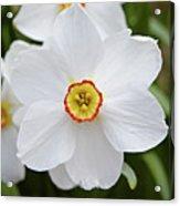 White Daffodil Acrylic Print