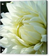 White Dahlia Flower Art Print Canvas Floral Dahlias Baslee Troutman Acrylic Print