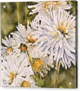 White Dahlias Acrylic Print