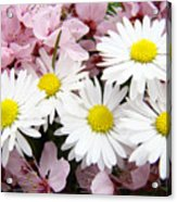 White Daisies Flowers Art Prints Spring Pink Blossoms Baslee Acrylic Print