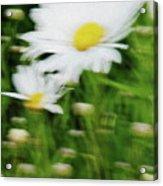 White Daisy Digital Oil Painting Acrylic Print