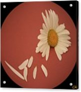 Encapsulated Daisy With Dropping Petals Acrylic Print