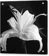 White Day Lily In Bw Acrylic Print