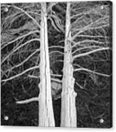 White Dead Trees Acrylic Print