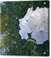 White Desert Flowers Acrylic Print