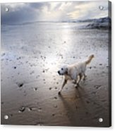 White Dog Acrylic Print