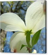White Dogwood Flower Art Prints Blue Sky Baslee Troutman Acrylic Print