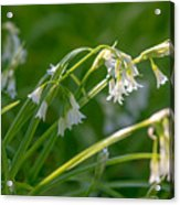 White Drooping Flower Acrylic Print