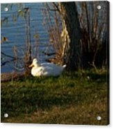White Duck Resting Acrylic Print