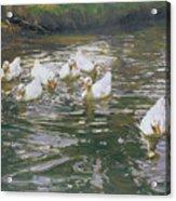 White Ducks On Water Acrylic Print
