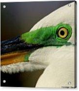 White Egret 1 Acrylic Print