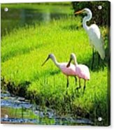 White Egret And Roseate Spoonbills Acrylic Print