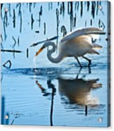 White Egret At Horicon Marsh Wisconsin Acrylic Print