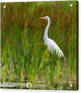 White Egret In Waiting Acrylic Print