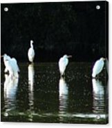 White Egrets Acrylic Print