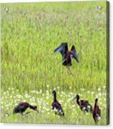 White-faced Ibis Preparing To Land Acrylic Print