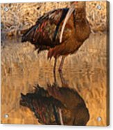 White-faced Ibis Reflecting On Late Spring Morning Acrylic Print