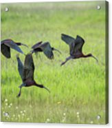 White-faced Ibis Rising, No. 2 Acrylic Print