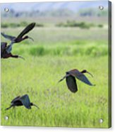 White-faced Ibis Rising, No. 3 Acrylic Print