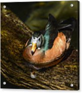 White-faced Whistling Duck  Acrylic Print