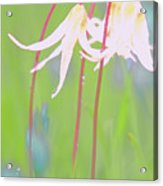 White Fawn Lilies In The Rain Acrylic Print