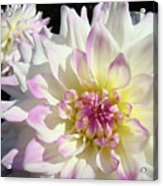 White Floral Art Bright Dahlia Flowers Baslee Troutman Acrylic Print