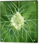 White Flower Spidery Leaves Acrylic Print